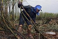 Champs de cannes à sucre au Brésil