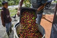 Un fermier producteur de café arabica en Indonésie